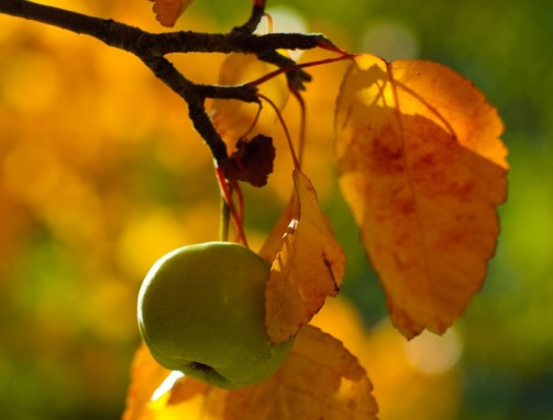 apple-and-autumn-leaves